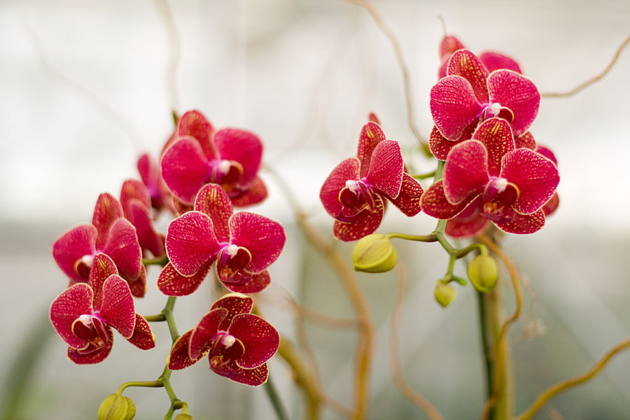 Red-Orchid-Flower-with-Yellow-Dots