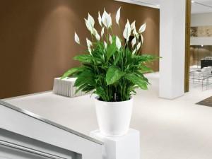 Spathiphyllum-300x225
