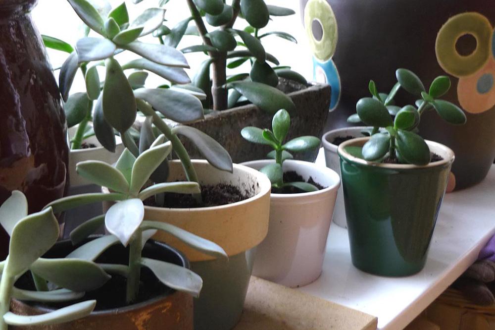 jadeplant