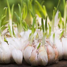 Garlic-sprouts1