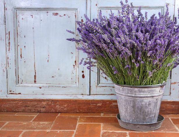 Spring arrives early with herbs interior gardens - Growing lavender pot ...